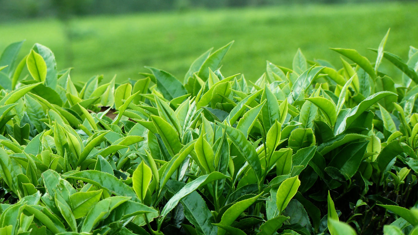 threats in tea industry Tea industry trends 2016 – what to expect in 2017 tea can be found in 80% of all us households and is the most popular beverage in the world, after water in 2016, americans consumed half a pound of tea per person, on average.